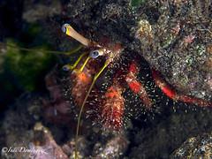 IMG_2909 Oteador (Inés Domínguez) Tags: cangrejo bali ermitaño underwaterfotography ojos eyes mirada