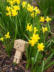 Sitting in the Daffodils (Arielle.Nadel) Tags: danbo danboard revoltech toyphotography yotsuba daffodils