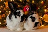Brothers (Victor Dvorak) Tags: lionhead rabbits bunny rhinelander brothers christmas christmaslights christmastree rescue adopted pets furry