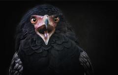 Der Gaukler (ellen-ow) Tags: adler gaukler habichtartige zunge greifvögel vögel bird eagle tier vogel ellenow animal nikond5 zoo