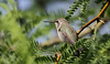 Anna's Hummingbird -- Female? (Calypte anna); Catalina, AZ [Lou Feltz] (deserttoad) Tags: wildlife nature arizona behavior flight desert bird wildbird hummingbird mesquite