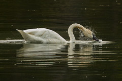 Drops off (ChicagoBob46) Tags: trumpeterswan swan bird yellowstone yellowstonenationalpark nature wildlife coth5 ngc npc