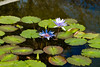 Lilly PondLO-0003 (Mary D'Elia) Tags: fernflorida flowers lillypads nature water waterlillies