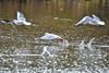 He's got it (Paul Wrights Reserved) Tags: seagulls seagull inflight flying bird birding birds birdwatching birdinflight waterfowl seabird wings food animal wildlife wildanimal splashing lake pond water