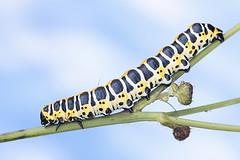 Savukaapuyökkönen - Cucullia lactucae - Lettuce shark moth (Henri Koskinen) Tags: cucullia lactucae lettuce shark moth caterpillar toukka perhonen yäkkönen savukaapuyökkönen helsinki finland viikki 15082017
