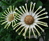Pin Wheels. (Mary Faith.) Tags: 09 daisy pinwheel white