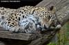 Persian leopard  - Zoo Amneville (Mandenno photography) Tags: dierenpark dierentuin dieren animal animals france frankrijk persian persianleopard leopard amneville zoo zooamneville bigcat big cat