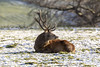 Resting Stag (Steve (Hooky) Waddingham) Tags: animal wild wildlife countryside nature rut fight
