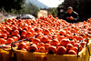 Persimmons 柿 (MelindaChan ^..^) Tags: 柿 tree orchard persimmons chanmelmel mel melinda melindachan branch fruit plant 恭城瑤族自治縣 gongcheng 恭城 guangxi 廣西 柿餅 sundried peel
