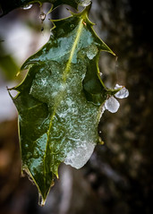 8168 (1 of 1) (sallyjane6) Tags: snow snowyday newlife buds winter bedford holly macro closeup