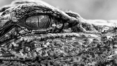 Baby Gator 004 - Cropped B&W version (RRcoleJR Photography) Tags: 1 alligator alligatormississippiensis alligatoridae americanalligator anahuac anahuacnwr animalia baby blue bokeh brown chordata closeup crocodilia crocodylomorpha dof eye galvestonbay gold green macro moss reptilia texas usa water young alone child coldblooded commonalligator cute detail gator goldeneye individual lake little marsh marshland marshy ocean one partialhead pond predator profile reptile saltmarsh side sideview sideways single swamp swampland swampy tiny weed