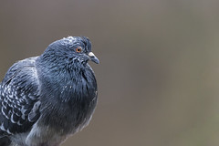 Regarde dans mon oeil - Look into my eye (bboozoo) Tags: nature wildlife pigeon bokeh profondeurdechamp canon6d tamron150600 closeup