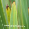 Phormium tenax-5 (SUBENUIX) Tags: phormiumtenax suculentas xanthorrhoeaceae subenuix subenuixcom planta suculent suculenta botanic botanical