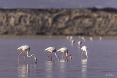 What are you looking for? (iosif.michael) Tags: 150600 birds flamingos larnaca nikon saltlake tamron water cyprus