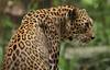 2010_ac_watching !! (Wellsman2010) Tags: leopard africa canon 50d 24105 l lens kuala lumpur malaysia zoo negara feline cat big wildlife nature