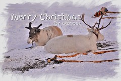Merry Christmas for everyone (Photography by Eric Hentze) Tags: merrychristmas merry chirtmas norway march 2017 troms tromsö rentier reindeer rudolph therednosedreindeer snow ice arctic arciticnorway northnorway nikon d7100 nature nautrephotography animal animalphotography animale animalplanet winter sled erichentze colour cold outdoor wildlife