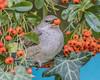 Barred Warbler (daves wildlife photos) Tags: barred warbler sylvia nisoria chordata passerine migrant berries bird birds nature wildlife canon 7d mkii