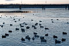 Hämeenlinna (Tuomo Lindfors) Tags: suomi hämeenlinna finland vanajavesi vesi water järvi lake sorsa mallard dxo filmpack
