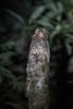 Long-tailed Potoo (Tris Enticknap) Tags: potoos longtailedpotoo nyctibiusaethereus manunationalpark amazonbasin manubiospherereserve