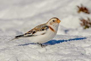 JWL5789  Snow Bunting..