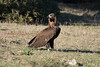 Black Vulture (Josh13770) Tags: alcaladelosgazules alberite vr 200500mm d750 nikkor nikon vulture black buitrenegro