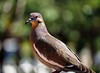 Mourning dove (Millie (On and Off)) Tags: ourning dove whitewinged blue eyerings bokeh outdoors rinconpr soe inspiredbylove animalplanet