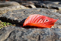 Autumn colour, Naramachi (Eric Flexyourhead) Tags: naramachi nara narashi 奈良市 kansai 関西地方 japan 日本 kozenji temple japanese detail fragment stones autumn fall leaf leaves red foliage fallen shallowdepthoffield ricohgr