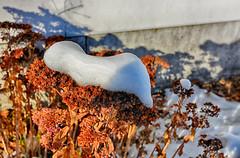 Snow Capped Sedum (kendoman26) Tags: hdr nikhdrefexpro2 snow winter nikon niksoftware nikond7100 tokinaatx1228prodx tokina tokina1228