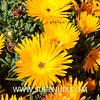 Lampranthus aurantiacus-2 (SUBENUIX) Tags: aizoaceae lampranthusaurantiacus suculentas subenuix subenuixcom planta suculent suculenta botanic botanical