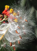 Have a safe New Year's Eve! (Vicki's Nature) Tags: fireworks milkweed seeds seedpods white fluff fiery flowers red gold yard georgia vickisnature canon s5 0554 newyearseve 2017 2018 returnnc