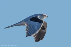 White-tailed Kite © (Rodolfo Quinio) Tags: whitetailedkite nikond500 tamron150600mm lasgallinasponds sanrafaelca marincounty birdofprey raptor birdinflight raptorinflight bird nature wildlife 172