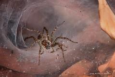 Funnel web spider. (MCSindagi) Tags: funnelweb funnelwebspider spiders karnataka bangalore bengaluru closeups 600mm telemacro macro rx10mk4 rx10iv sonyrx10 sonyrx10miv sonyrx10iv sonyindia sony affinityphotoforipad affinityphoto godox tt685s xt1s snapseed