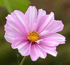 Pink 'n' White Cosmos (Pat's Pics36) Tags: nikond7000 nikkor18to200mmvrlens usa washington semiahmoo packersresort cosmos pinkandwhite