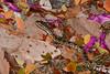 Habu Amongst Fallen Petals 3 (Bob Hawley) Tags: royalpoinciana delonixregia flowers petals pink deadleaves protobothropsmucrosquamatus chinesehabu venomous poisonous snakes reptiles herpetology nature outdoors nikond7100 nikkor35135mmf3545lens taiwan asia nocturnal hunting kaohsiung dagangshanscenicarea