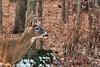 Deer's Looking at You (Goromo) Tags: whitetaileddeer buck deer fall winter leaves fallenleaves snow stump