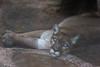 Such a beauty (anna.letoile) Tags: puma cat bigcat zoo tennoji tennojizoo japan nihon osaka 日本 大阪 天王寺 天王寺動物園 プーマ canon canoneos550d tamron flickraward