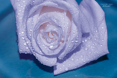 Winter Rose (mariola aga) Tags: flower rose peach white hue waterdrops macro closeup blue art alittlebeauty coth5 thegalaxy floralfantasy