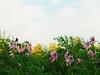 コウテイダリア (sakemoge) Tags: dahlia 皇帝ダリア ダリア 長居植物園 autumn wind sky green plant flower 45mmf18 g8 panasonic olympus