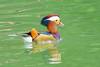 鴛鴦Mandarin Duck (UG Tsai) Tags: birds 動物 鳥