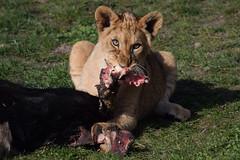 African lion cub @ Wildlands Adventure Zoo Emmen 25-03-2017 (Maxime de Boer) Tags: african lion lioness cub afrikaanse leeuw leeuwin welpje leeuwenwelpje panthera leo big cats katachtigen wildlands adventure zoo emmen animals dieren dierentuin dierenpark gods creation schepping creator schepper genesis