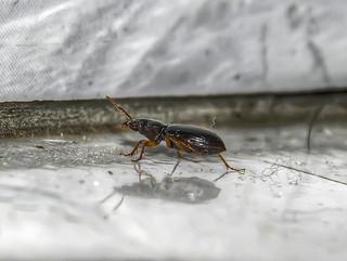 Athrostictus sp. - Ground Beetle (Bates, 1878)