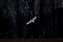 Snowy Owl - in flight - Hancock County, IN (wilsonchristopheradam) Tags: bird birding snowyowlinflight hancockcounty in indiana christmasbirdcount mountcomfort nikon nikonbirdhunter adamwilson2017