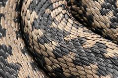 _0NA6142 (TV_Vagabundus) Tags: vipera berus zmija zygzakowata snake venomous viper