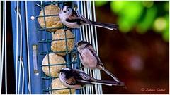 Here Comes The Sun II (lukiassaikul) Tags: wildlifephotography wildanimals urbanwildlife tits longtailedtits gardenbirds feeder birdfeeder fatballs