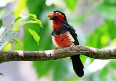 6F8A9300  Bearded barbet (EricBronson's Photography) Tags: beardedbarbet bird nature jurongbirdpark singapore