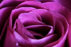 Macro on Monday, pink rose!🌹🌹 (LeanneHall3 :-)) Tags: rose pink petals rosepetal closeup closeupphotography macro macroextensiontubes hull kingstonuponhull canon 1300d flower flowersarefabulous flowersarebeautiful flowerflowerflower macroflowerlovers