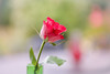 Winter Rose II (paulapics2) Tags: rose rosa flower flora floral nature plant indoor november canoneos5dmarkiii sigma105mmf28exdgoshsmmacro canon vase singlerose pink bright colourful bokeh depthoffield petals sepals