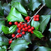 "Cincinnati – Spring Grove Cemetery & Arboretum ""Holly Tree – Berries & Pointed Leaves"""