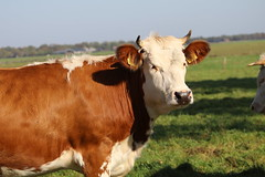 Olympic Delphi Red (excellentzebu1050) Tags: livestock dairycows cow cattle closeup animal animalportraits farm field outdoor coth5