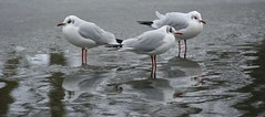 RedBits (Tony Tooth) Tags: nikon d7100 nikkor 55300mm gulls birds blackheadedgull reflection icy pond december winter cold wildlife broughpark leek staffs staffordshire
